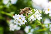 Western honey bee — Stock Photo