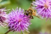 Honey bee on a purple flower — Stock Photo