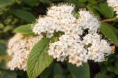 Flowers of Viburnum lantana — Stock Photo