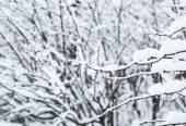 Brunch di Bush sotto neve, fuoco selettivo — Foto Stock