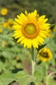 Closeup sun flower — Stock Photo