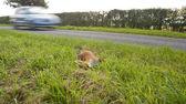 No1 R ed fox, road kill. — Foto de Stock