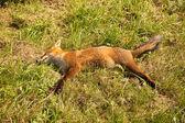Red fox, road kill. — Stock Photo