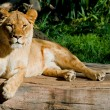 Female African Lion — Stock Photo #59573433