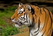 Sibirischer tiger — Stockfoto
