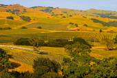 Green Vineyards at sunset — Stock Photo