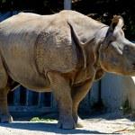 Big Horned Rhinoceros — Stock Photo #65572057