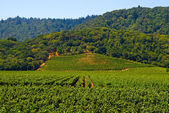 Napa Valley vineyard — Stock Photo