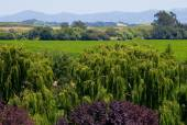 Napa Valley vineyard — Stock Photo