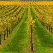 Rows of Vineyards in Napa Valley — Stock Photo #66235225
