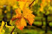 Autumn leaves of Vineyard — Stock fotografie