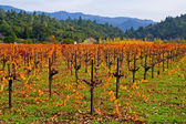 Colored Vineyard in Autumn — Stock Photo
