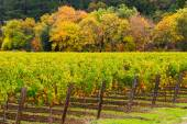 Vineyard in countryside in autumn — Stock Photo
