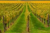 Rows of Vineyards in Napa Valley — Stock fotografie