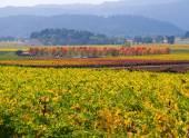 Vineyard in Napa Valley in Autumn — Stock Photo