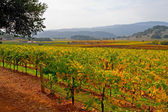 Vineyard in Napa Valley in Autumn — Stock Photo