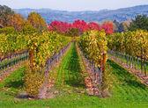 Vineyard in Autumn under blue sk — Stock fotografie