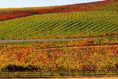 Vineyard in Napa Valley — Stock Photo