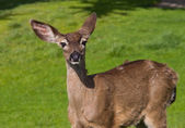 Young brown deer — Stock Photo