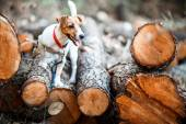 Jack Russell terrier puppy on wooden logs — Stock Photo