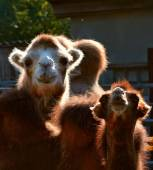 Cute camels in the zoo — Stock Photo