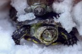 Two turtles in the snow — Stock Photo