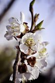 Spring tree in blossom — Stock Photo