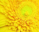 Gerbera amarela flor — Fotografia Stock