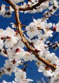 White flowers of blooming tree — Stock Photo