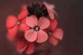 红色鲜花特写 — 图库照片