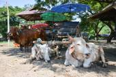 Wagen Sie mit Kühen in Thailand — Stockfoto