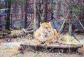 Sedící, ležící v zoo — Stock fotografie
