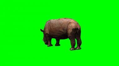 Big Rhino grazing — Stock Video