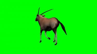 Gemsbock antelope walking — Stock Video