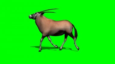 Gemsbock antelope running — Wideo stockowe