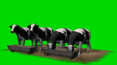 Cows on feed trough - green screen — Stock Video