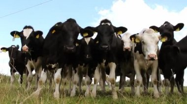 Cows on pasture - closeup — Stock Video