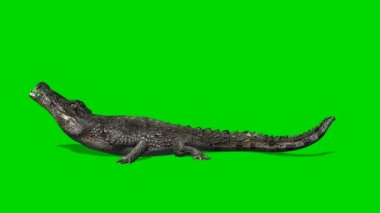 Crocodile Alligator eats - green screen — Vídeo stock