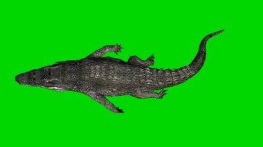Crocodile Alligator swims - green screen — Stock Video
