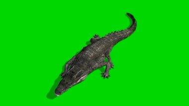 Crocodile Alligator walks - green screen — Stock Video