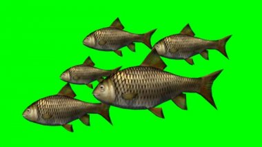Carp fishes swimming slow - green screen — Stock Video