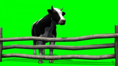 Cows graze in the pasture - green screen — Stock Video