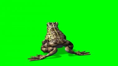 Frog eats - frog catches prey - green screen — Stock Video