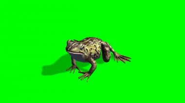 Frog eats - frog catches prey - green screen — Stockvideo
