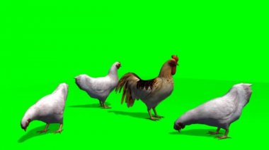 White chicken with rooster -  green screen — Stock Video