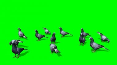 Pigeons in a group on the ground - green screen — Wideo stockowe