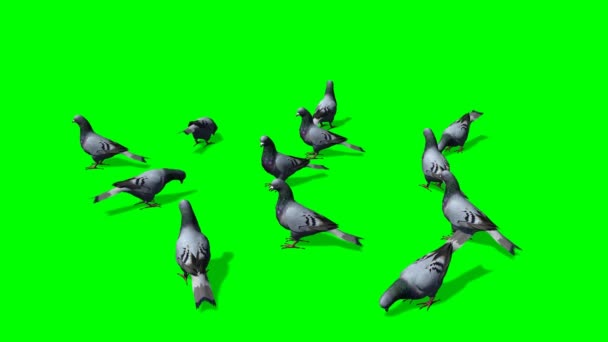 Pigeons in a group on the ground - green screen — Vídeo de stock