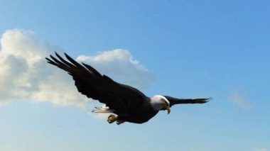 Bald Eagle Flight Close-Up tracking shot — Stock Video