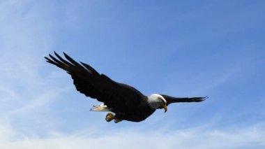 Bald Eagle Flight Close-Up tracking shot — Stock Video