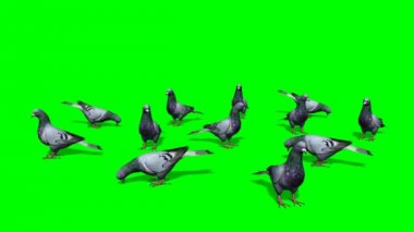Pigeons eating on green background — Stockvideo